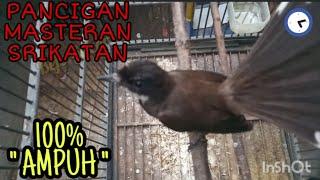 Download Mp3 Burung Srikatan Jawa Gacor Volume Bening, Cocok Buat Pancigan Dan Masteran Dijam