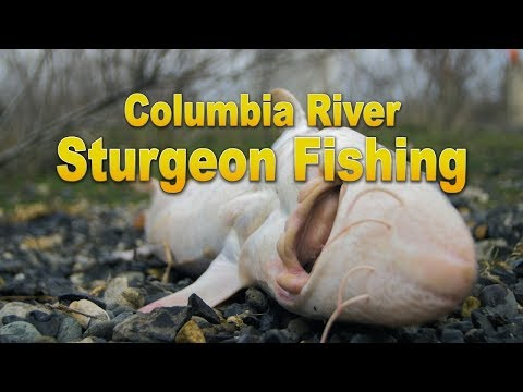 Sturgeon Fishing on the Columbia River 2017