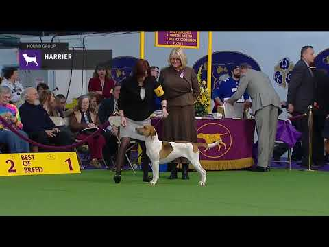 Harriers | Breed Judging 2019
