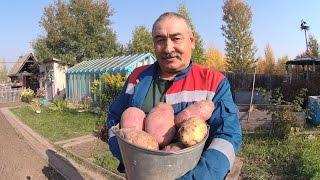 Посадка картофеля  Способ посадки картофеля для получения  высокого урожая  От А до Я
