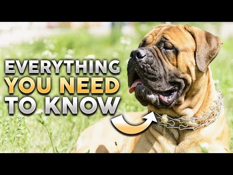 BULLMASTIFF 101! Everything You Need To Know About Owning a Bullmastiff Puppy