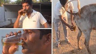 فيديو| هنود يشربون بول البقر: «مفيد وكله فيتامينات»
