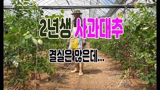 무농약인증 외대재배 하우스사과대추 알이 굵어지면서 줄매기 한창 진행중