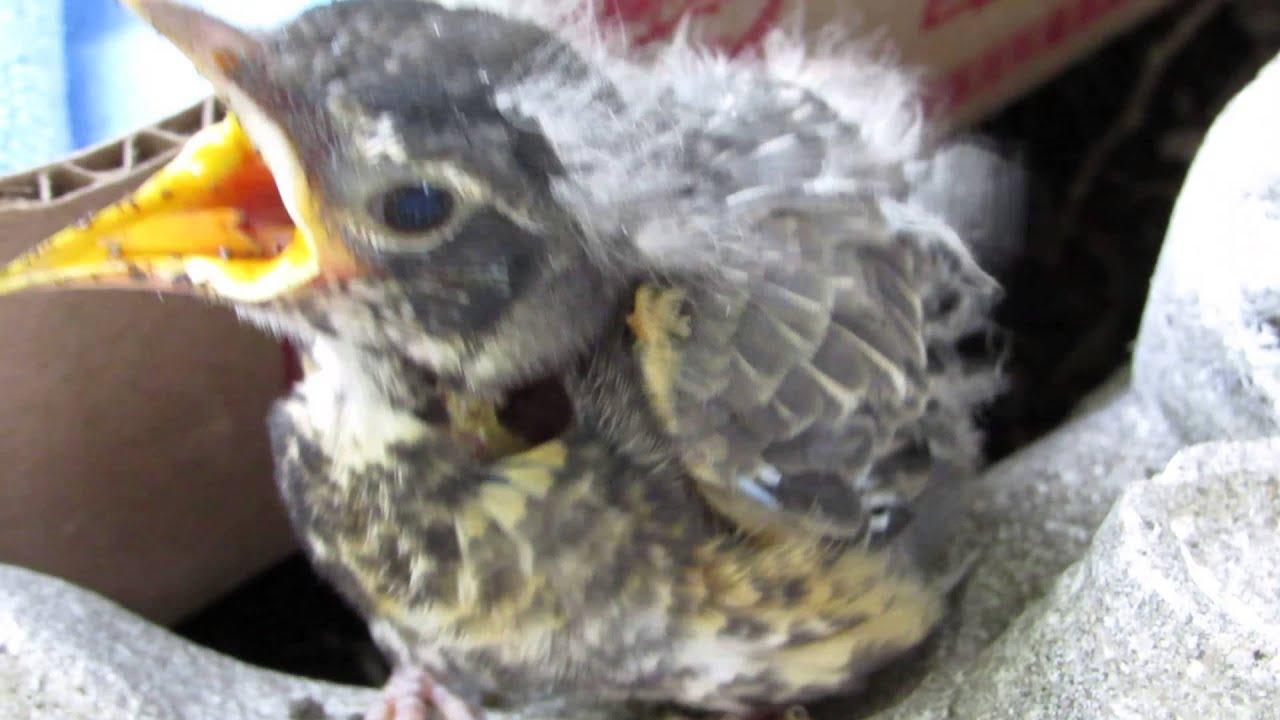 Hand Feeding A Fledgling Robin Chick Youtube