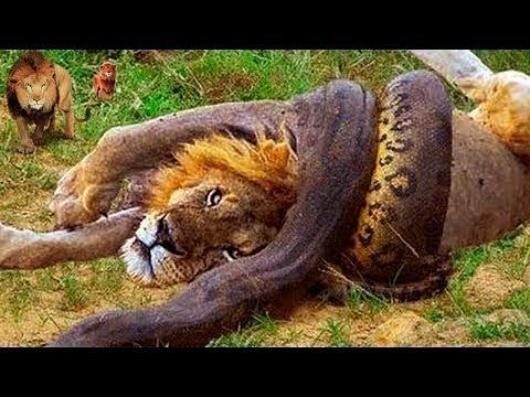 Incrível Leão Protege Seus Irmãos De Anaconda Muito Grande! Cobras, Ratos, Lagarto, águia, Mangusto