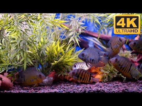 4k hd amazing goldfish - photo #12