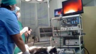 Колоноскопия кота