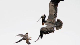 ВЕРСУС! На что способен сокол против пеликанов, змеи, утки и гуся!