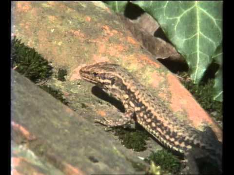Les  Lezards - Documentaire Animalier