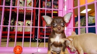 Chihuahua, Puppies, For, Sale, In, Fresno, California, Ca, Stockton, Riverside, Santa Ana, Anaheim,