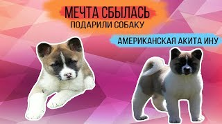 Подарили собаку | Американская Акита-Ину | Первая прогулка