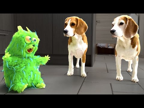 Funny Dogs Vs Annoying Hamster   Present From Maymo   Louie and Marie