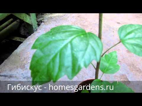 Гибискус (Hibiscus). Описание, виды и уход за гибискусом