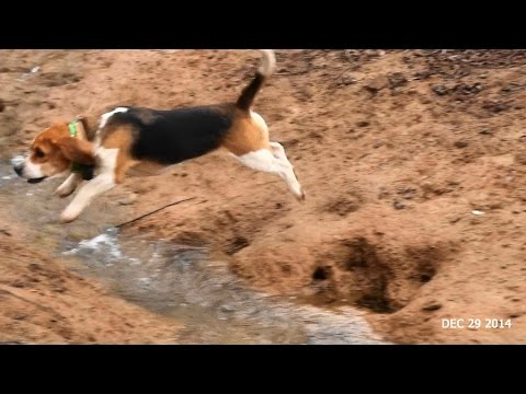 Skyview's Beagles EZ Duz It Solo Rabbit Hunt Dec 29th 2014