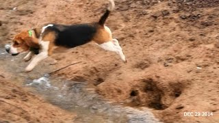 Skyview's Beagles Ez Duz It Solo Rabbit Hunt Dec 29th 2014