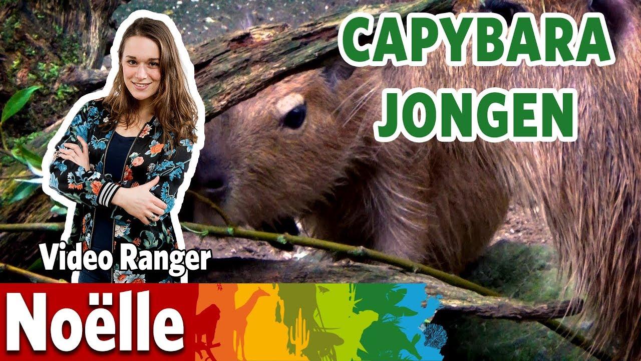 De capybara's hebben jongen!