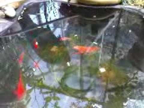 Goldfische und schleien im teich nach dem winter youtube for Goldfische gartenteich winter