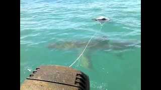 5 METER GREAT WHITE SHARK ATTACKS SEA ANCHOR