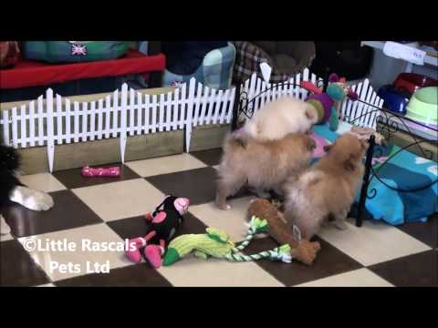 Little Rascals Uk breeders New litter of Pomeranian