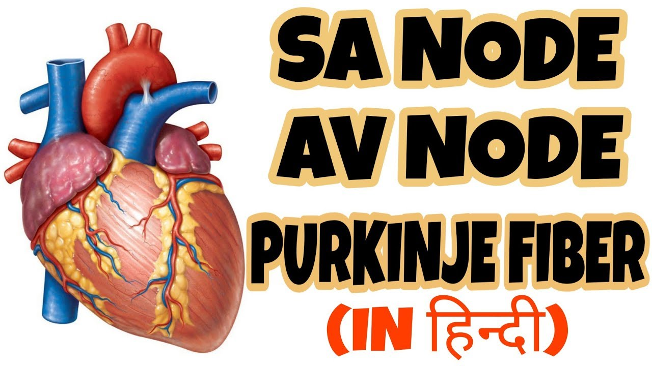 Electrical Cardic Conduction system of heart   AV Node,SA ...