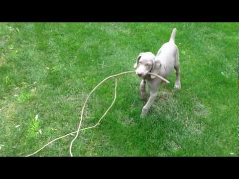 Einstein the Weimaraner Playing
