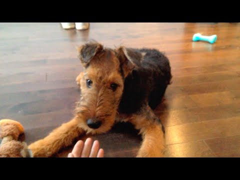Adorable Airedale Terrier Puppy Makes Chewbacca Sounds