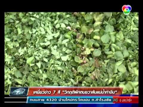เหยี่ยวข่าว 7 สี - วิกฤตผักตบชวาล้นแม่น้ำท่าจีน