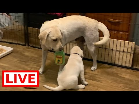 LIVE STREAM Puppy Cam!  FINAL 3 Adorable Labrador Retriever Puppies on their Last Day