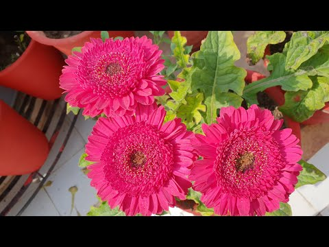 How to Fertilize Gerbera Plant in Spring / February for Flowering in Summer