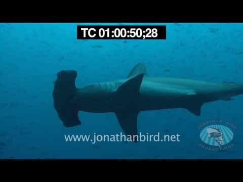 Scalloped Hammerhead sharks underwater video stock footage 1