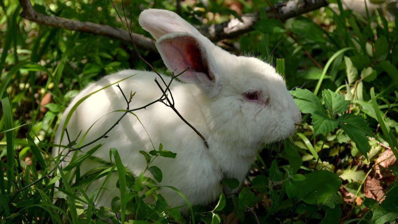 Backyard Free Range Rabbits