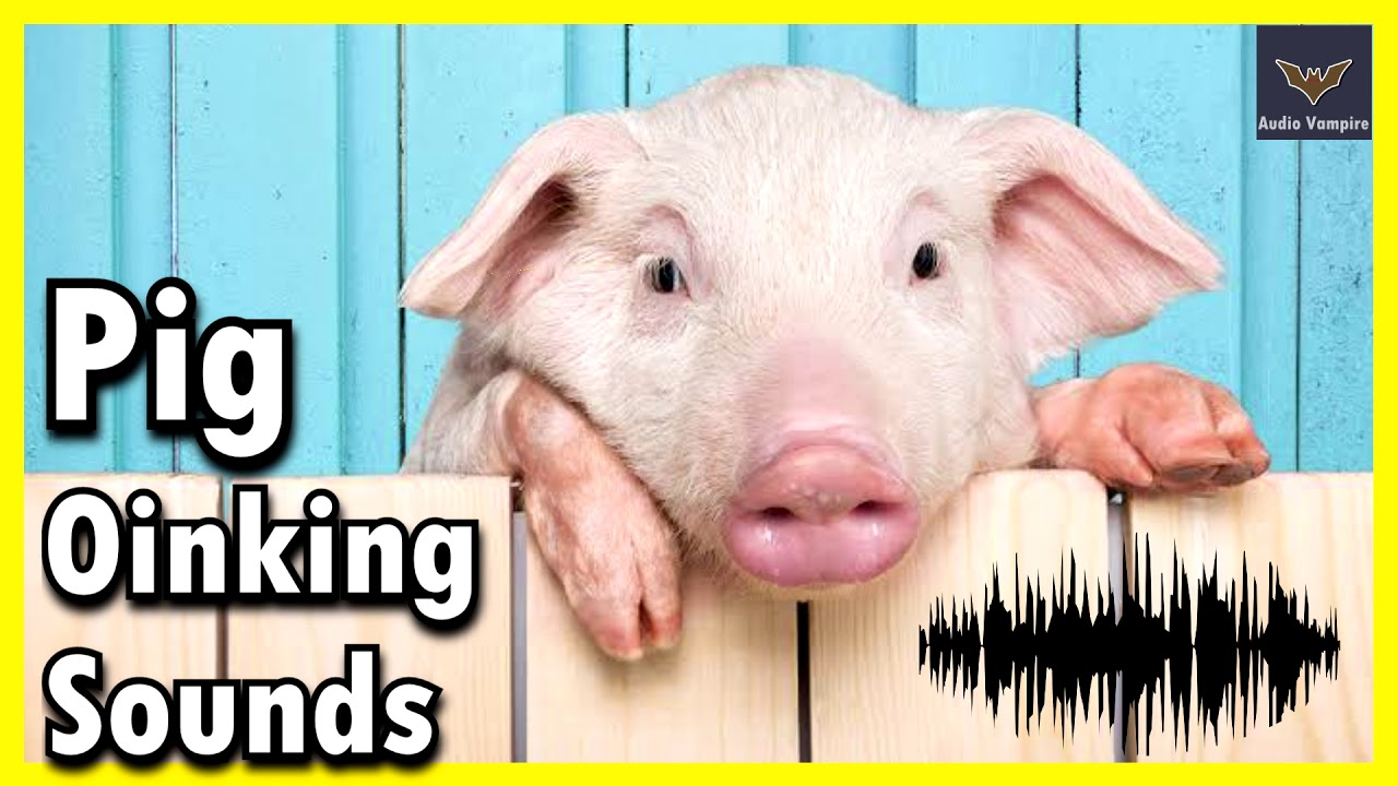 Pig Oinking Sounds   Sound effect   Audio Vampire - YouTube