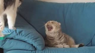 Кошка грозно шипит как змея, ругаясь на кота