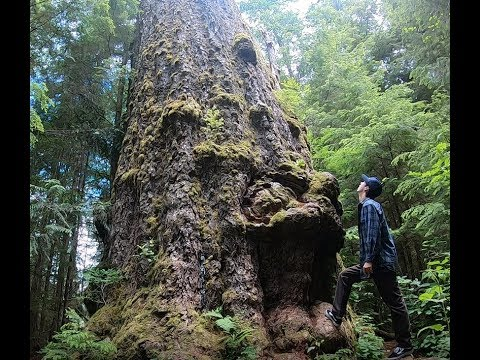 THE BIGGEST DOUGLAS FIR TREE IN THE WORLD