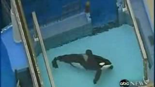 Shamu kills trainer 2010 video thumbnail