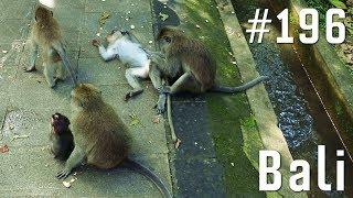 Aggressive Affen am Affentempel!   Weltreise Vlog #196 Part 1 Bali, Ubud, Indonesien