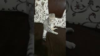Вислоухая шотландская кошка, популярная порода, сидит позирует
