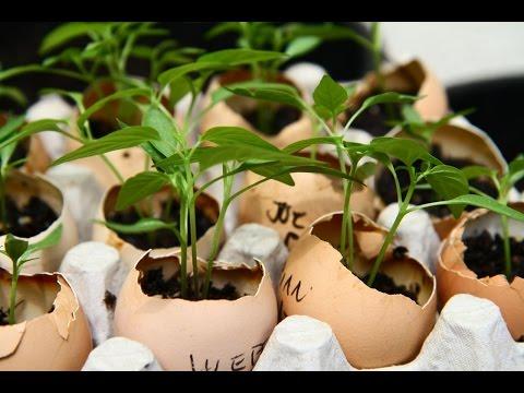 видео: Как вырастить рассаду в яичной скорлупе