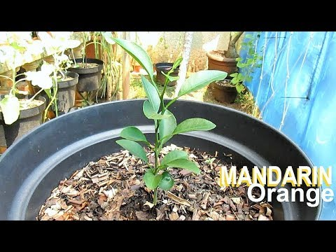 Growing MANDARIN from Seed