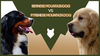 BERNESE MOUNTAIN DOG VS PYRENESE MOUNTAIN DOG