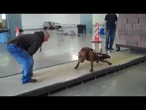 Utah Working Dogs pull over 5000 pounds!!