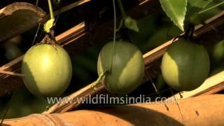 Badamtam Tea Estate, Passion fruit, Avocado, Pomegranate and Guava