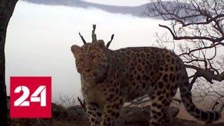 Дальневосточный леопард скоро может потерять статус самой редкой кошки в мире - Россия 24