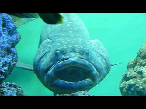 Fish came out of the mouth of Giant grouper タマカイの口から小魚 ...