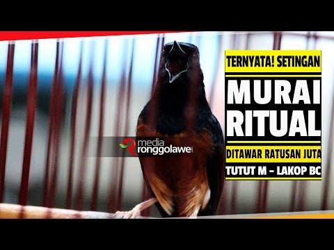 SUARA BURUNG : TERNYATA ! SETINGAN MURAI BATU RITUAL DI TAWAR HINGGA RATUSAN JUTA
