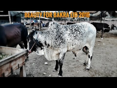 COW MANDI 2018 - Sahiwal Bull and Cheena beauty for Sale in Lahore Cow Mandi Bakra Eid (2018)
