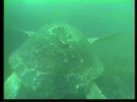 Show # 208 Dive Tarpon Oil Rig