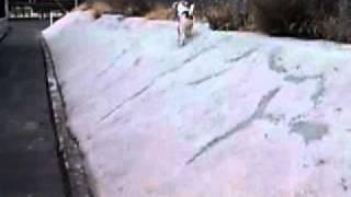 ワイヤーフォックテリアの花(生後11カ月)やんちゃ盛りの散歩風景.