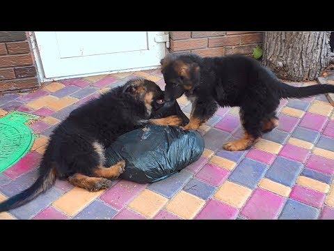 Как ЩЕНКИ НЕМЕЦКОЙ ОВЧАРКИ по дому помогали Funny Cute Puppies German Shepherd.