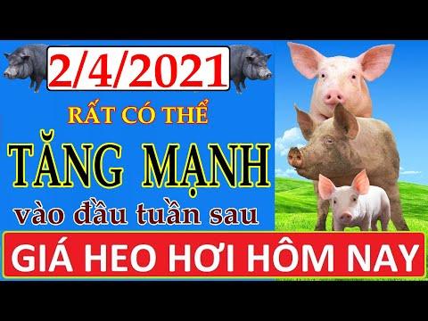Giá heo hơi hôm nay ngày 2/4/2021 | Giá lợn hơi rất có thể tăng mạnh vào đầu tuần sau